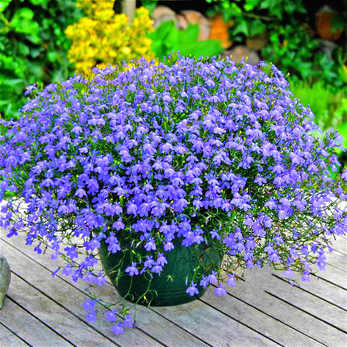 室内亚麻垂吊亚麻种子花卉兰花蓝花盆栽花籽子植物阳台花卉种籽