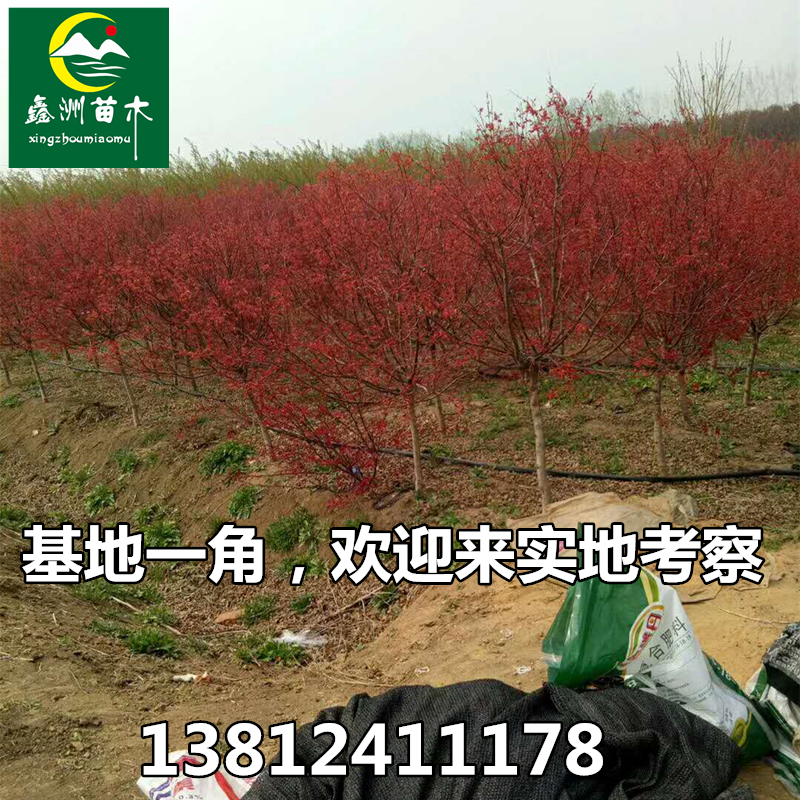 日本出猩猩红枫盆景中国红舞姬嫁接树苗盆栽草木皆宾美国红枫盆景