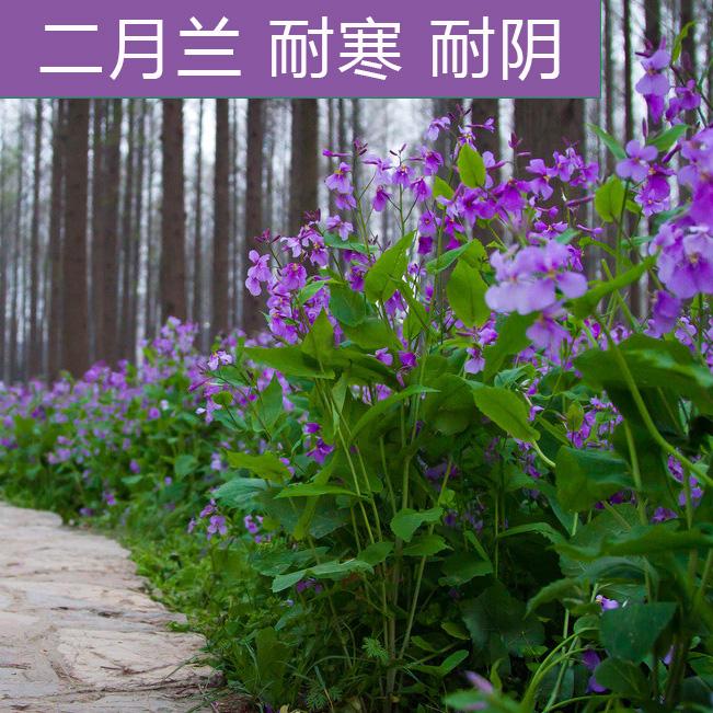 二月兰种子兰花诸葛菜二月蓝多年生花籽二月种籽庭院宿根耐寒耐阴
