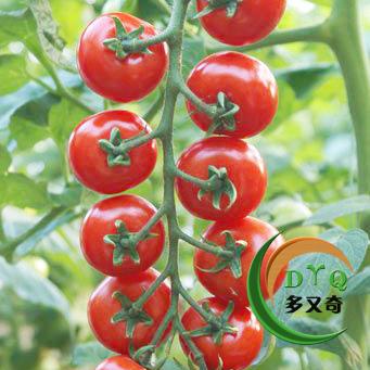 抗TY红色樱桃番茄种子