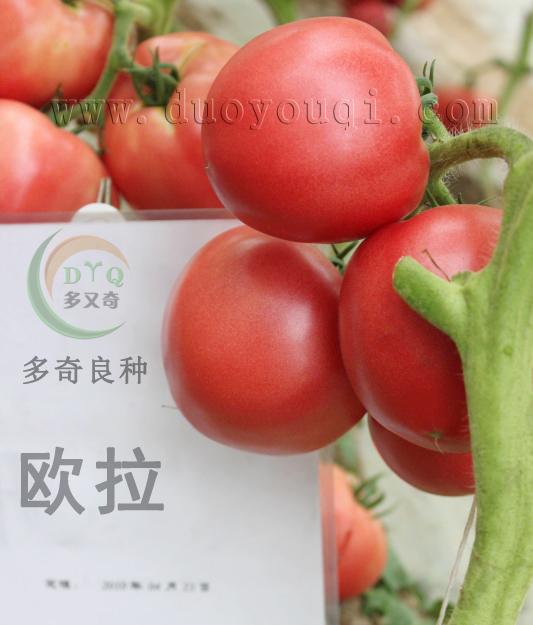 粉红果高产西红柿种子
