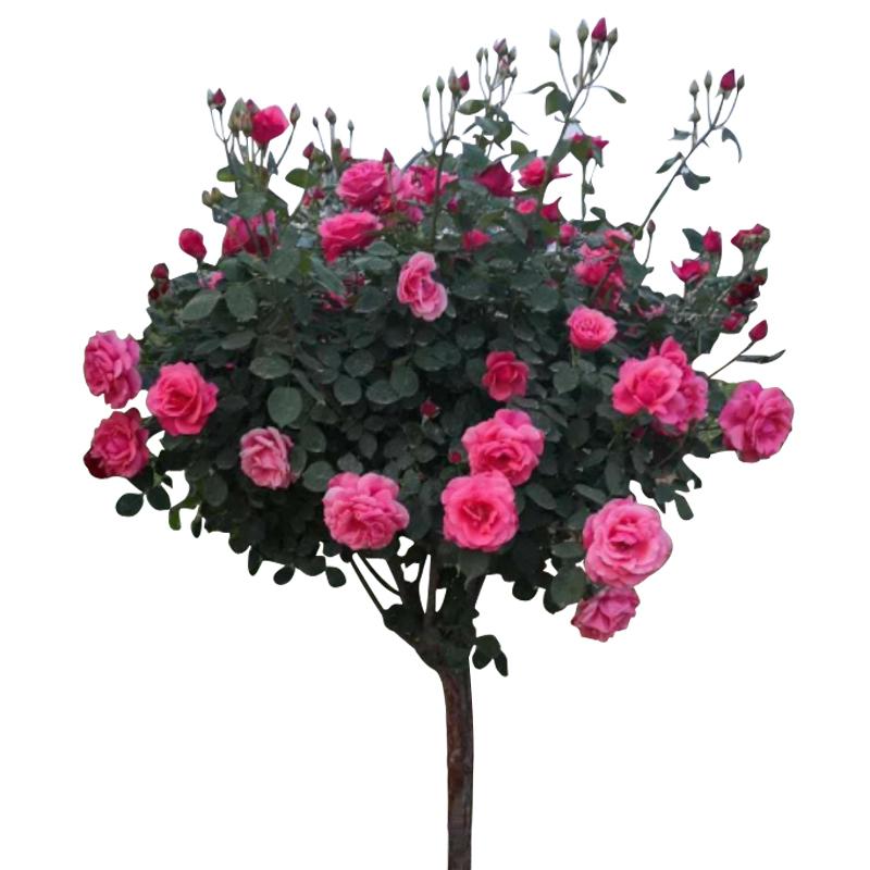 庭院阳台盆栽栽树浓香大花