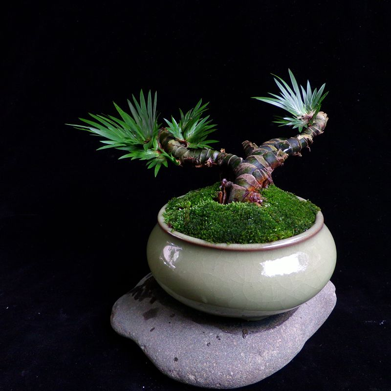Micro Bonsai Bonsai Mini Micro Landscape Moss Water Plant Roll Cypress Potted Grass Green Plant Potted Plants