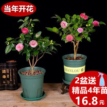 Camellia seedlings potted with flower buds flowers and ornamental plants indoor good breeding four seasons blooming continuously five color red lead