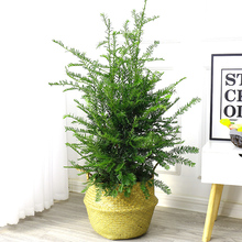 Authentic Southern Taxus seedlings potted landscape potted flowers and seedlings
