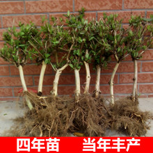 Yellow, white, red, honeysuckle, potted plants, seedlings, old piles, edible flowers, mandarin duck, rattan, climbing plants, indoor flowers, easy to raise