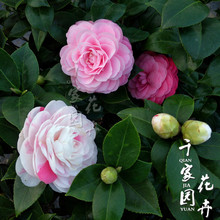 Tea plant with five colors, white, eighteen pink, one tree, multi-color potted plant, big tree with flower bud, green plant
