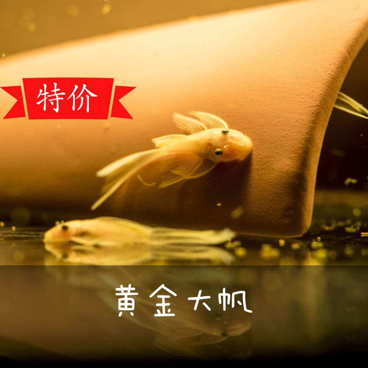 红眼大帆天使鱼蓝眼胡子工具大帆胡子鱼除藻鱼草缸24k鱼皮实