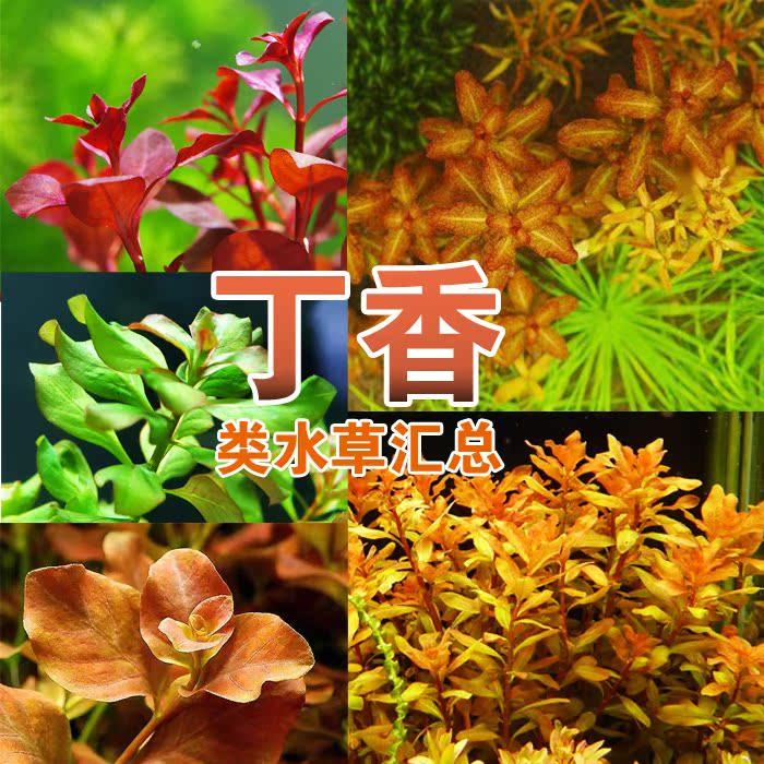 水族水草 蝴蝶 绿丁香(5支) 丁香草中后景鱼缸水草造景