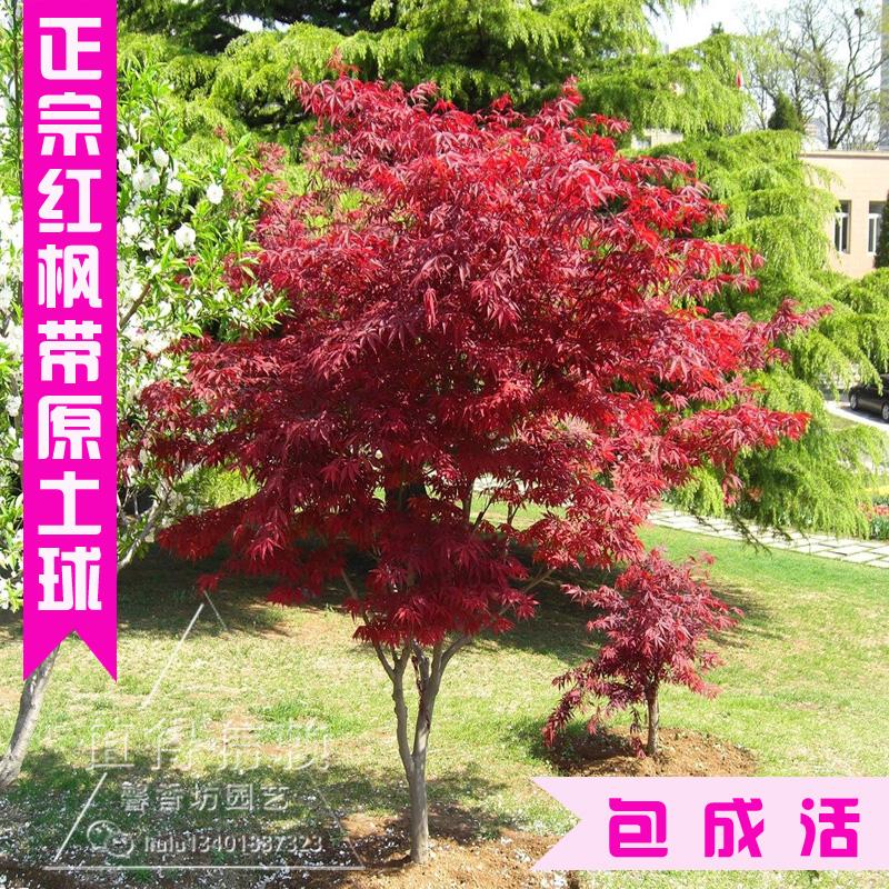 紫藤花树苗盆栽庭院花卉植物日本紫藤阳台楼顶攀援爬藤绿化苗木