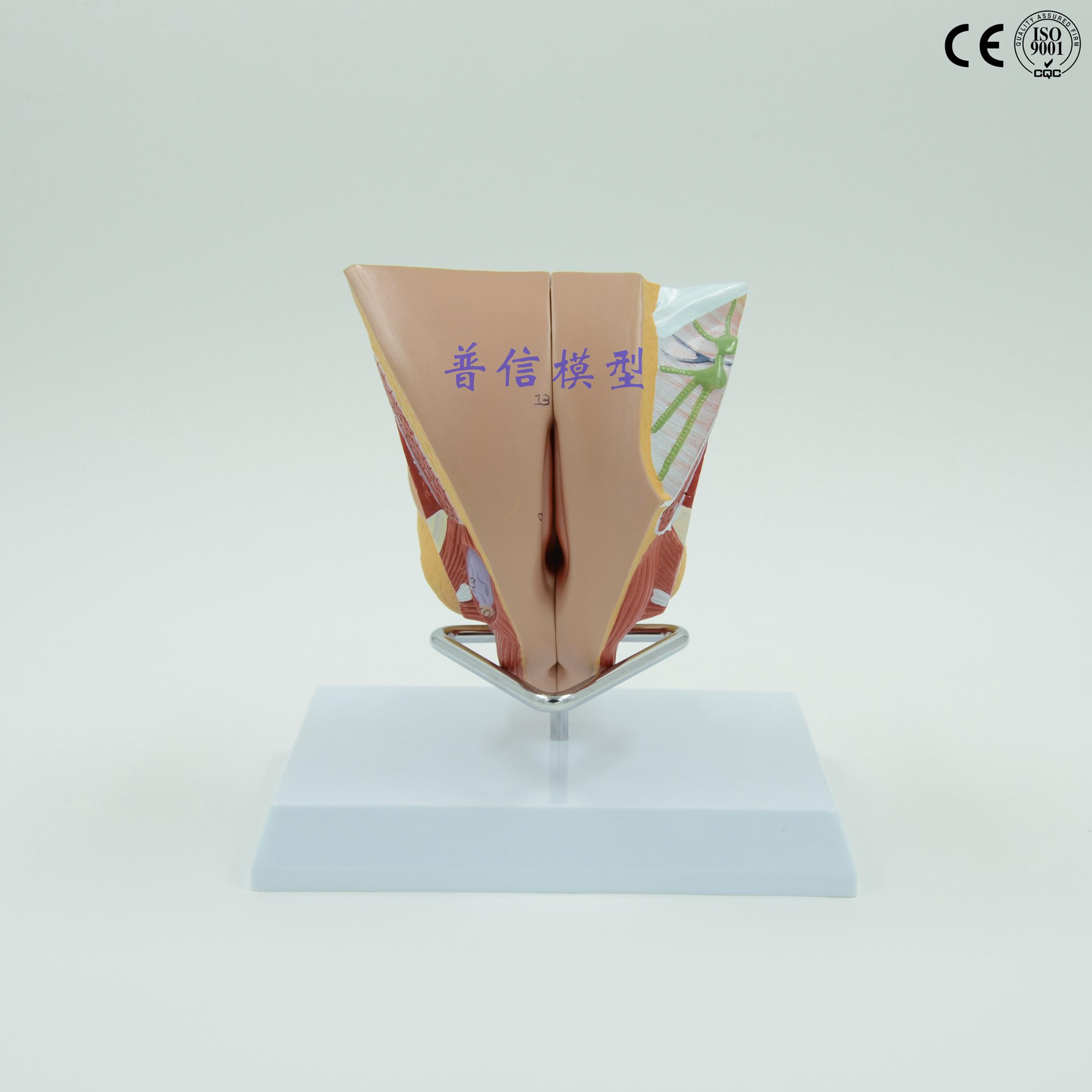 普信模型内外生殖器系统模型模型子宫计划生育睾丸用品女性