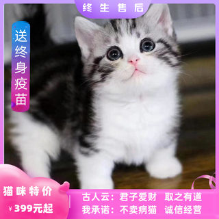 Pet cat British short blue cat beautiful short-legged cat folding ear gold and silver gradation blue and white kitten pup kitten live animal larva