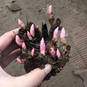芍药种根带芽芍药根块多年生芍药花苗洛阳牡丹花苗赛玫瑰蔷薇花