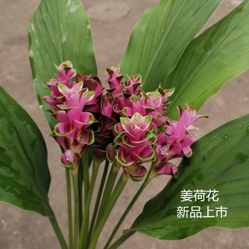 订阅鲜花速递全国广州本地花材姜荷花家庭用花花期长多款两件包邮