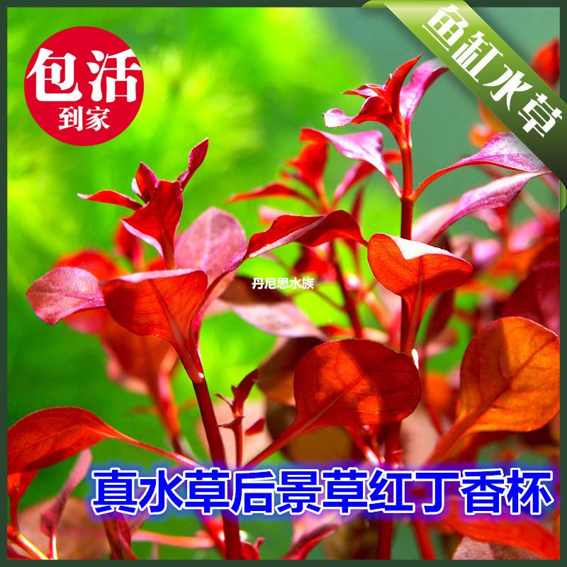 吴氏水草鱼缸造景大宝塔丁香宫廷绿羽毛有茎类草观赏鱼中后景水草