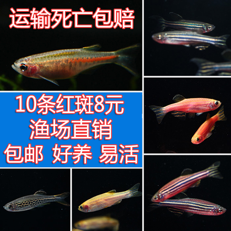 Goldfish zebra fish Peacock fish aquatic fish scavenger live fish traffic  lights small tropical cold water fish ornamental fish