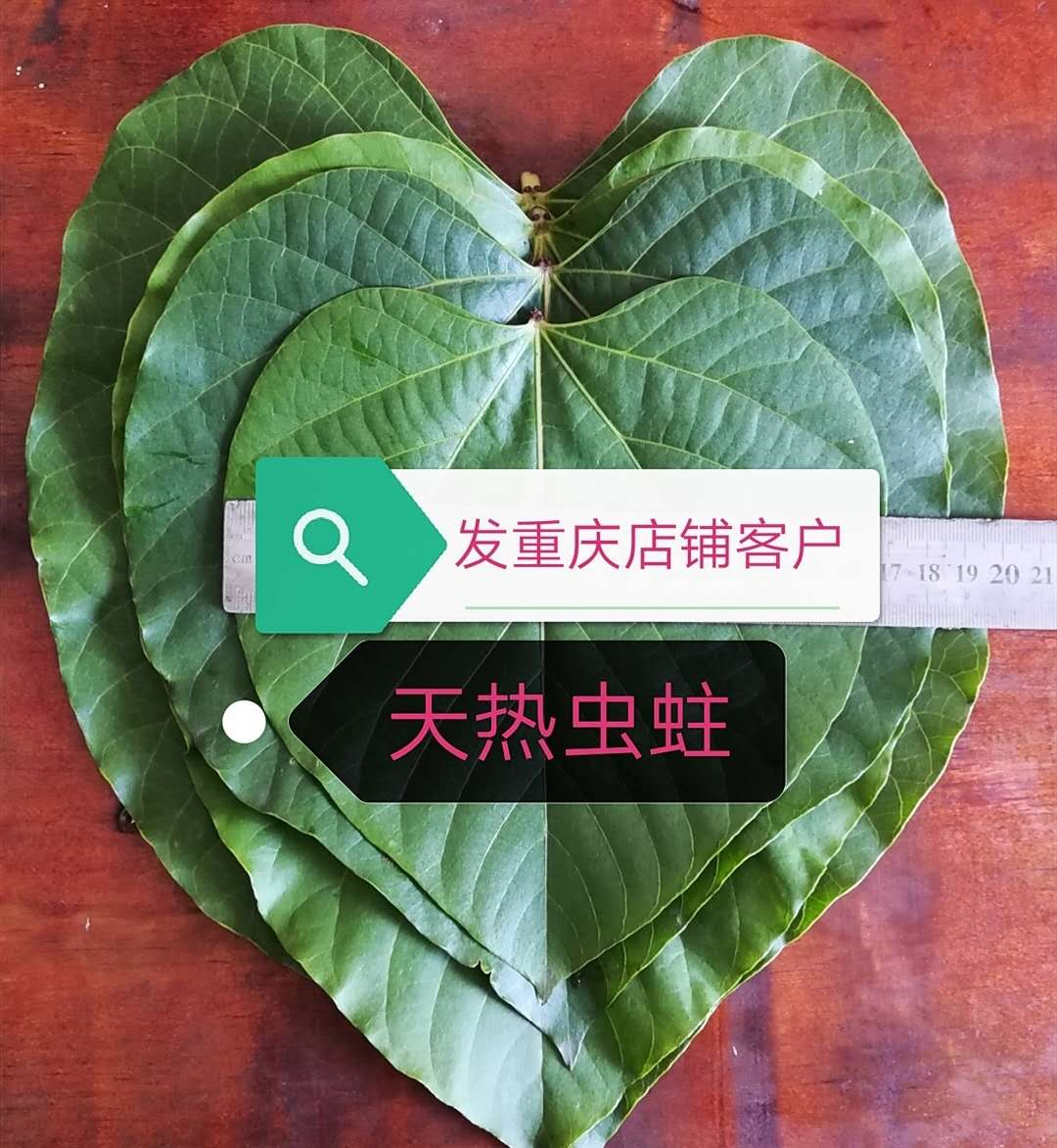桐子叶发货重庆包邮青山湖新鲜桐叶店铺果粑粑只发桐籽