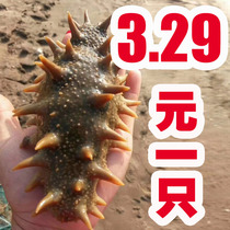 Wild Russian sea cucumber Long I. Ginseng Dry Ginseng hotel with sea cucumber