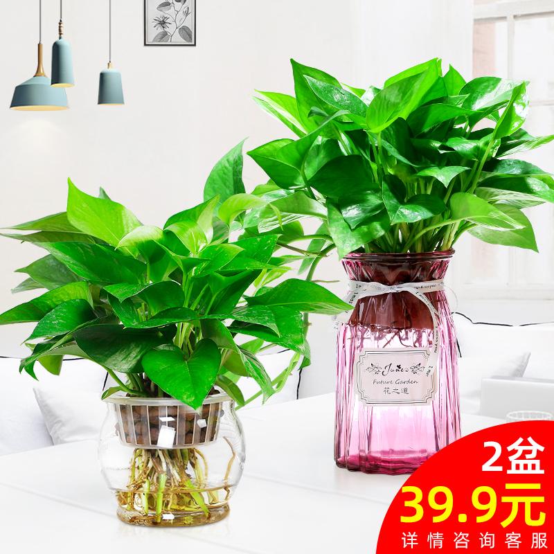 绿萝绿植植物花卉室内盆栽水养四季常青长藤绿箩大好养办公室水培