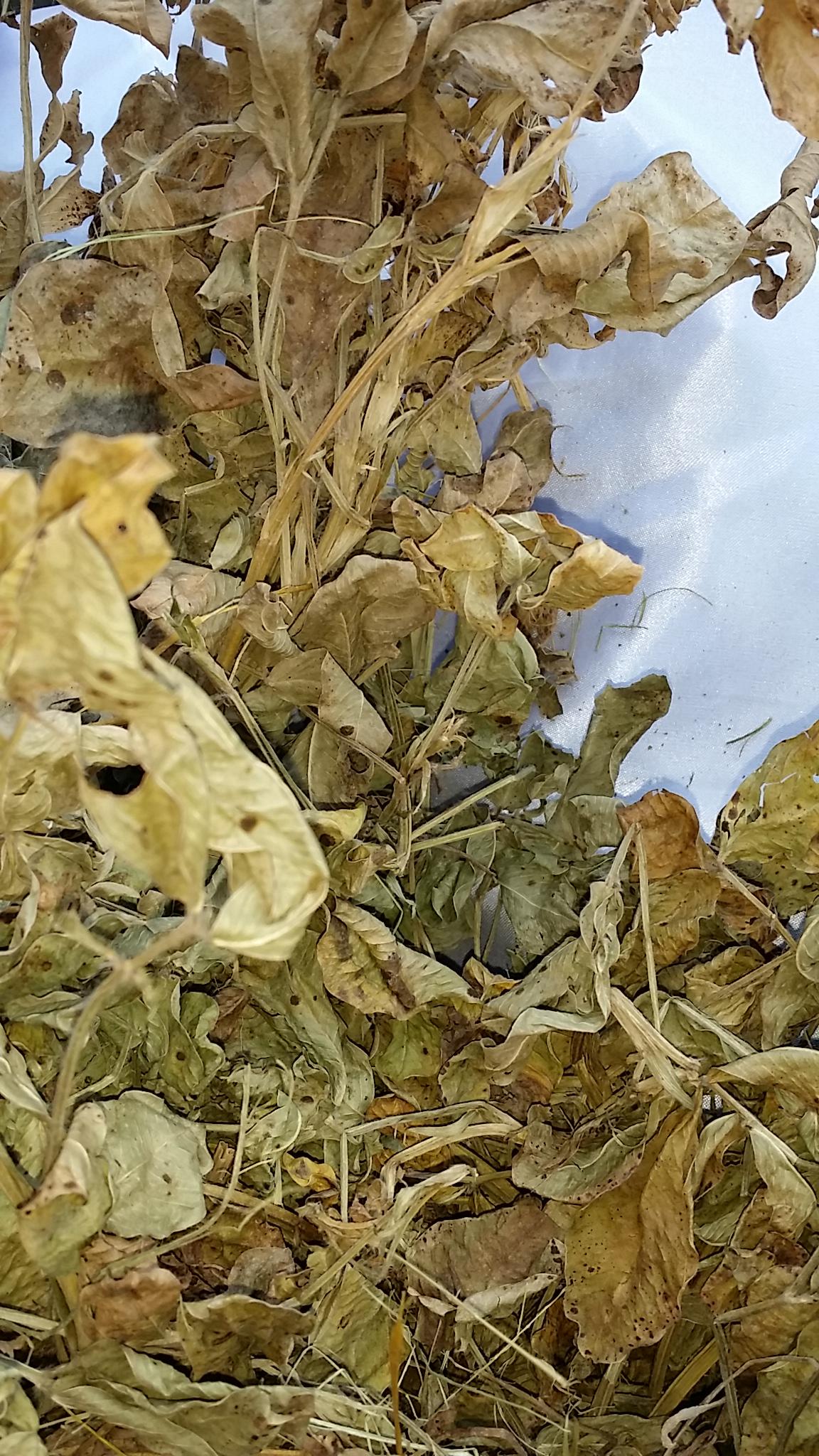 Новый Лист арахисового листа арахисового листа 250 г