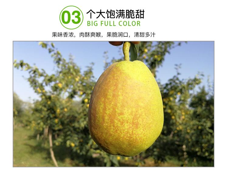 郑州库尔勒香梨专卖店,新鲜脆甜香梨直销