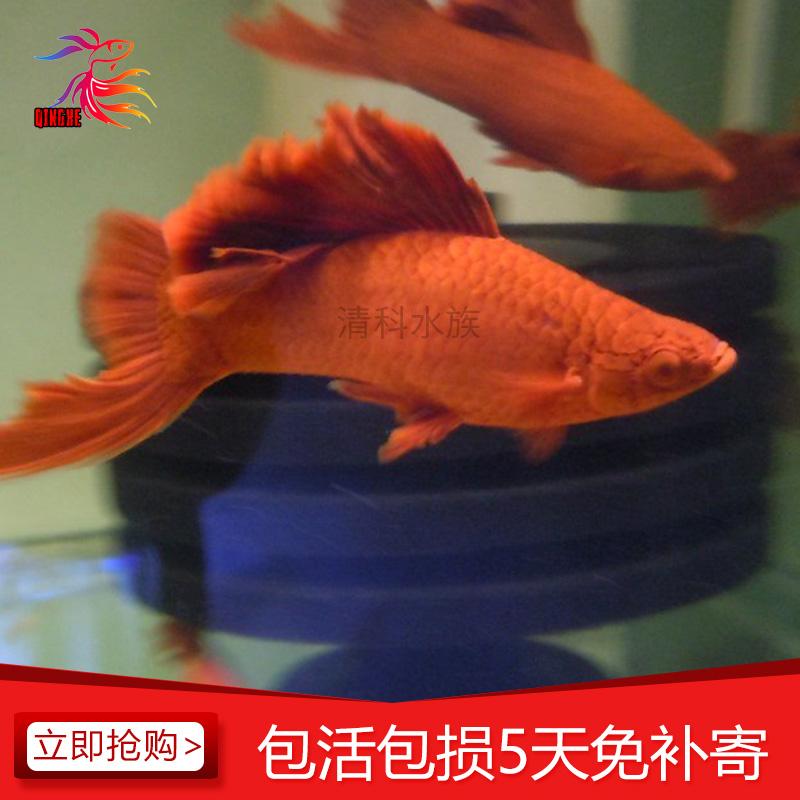 水虎食谱人鲳鱼食产后猫母图片