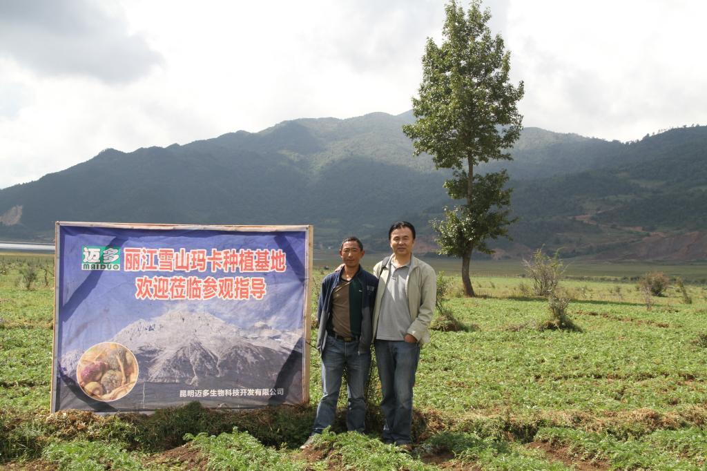 麗江瑪咖種植基地考察實況展現