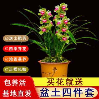 Orchid four seasons flowering thick-flavored orchid seedling indoor living room green floral potted plantation