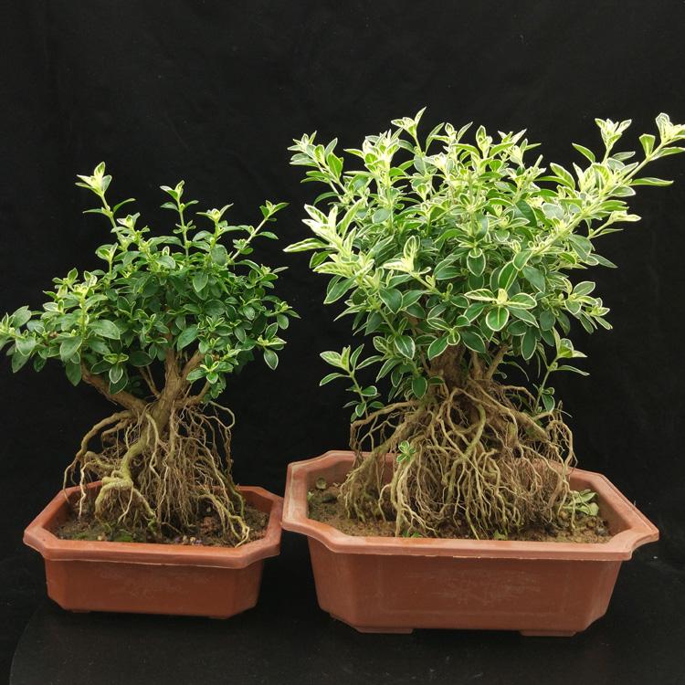 提根六月雪盆景老桩卧室抗电脑辐射木本植物盆栽四季常青易养阳台