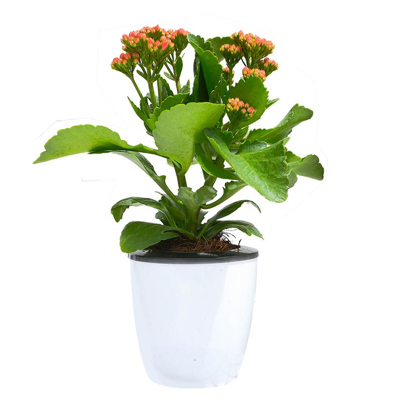 长寿花盆栽重瓣花 观花植物 长寿花花卉盆栽易活开花不断四季桌面