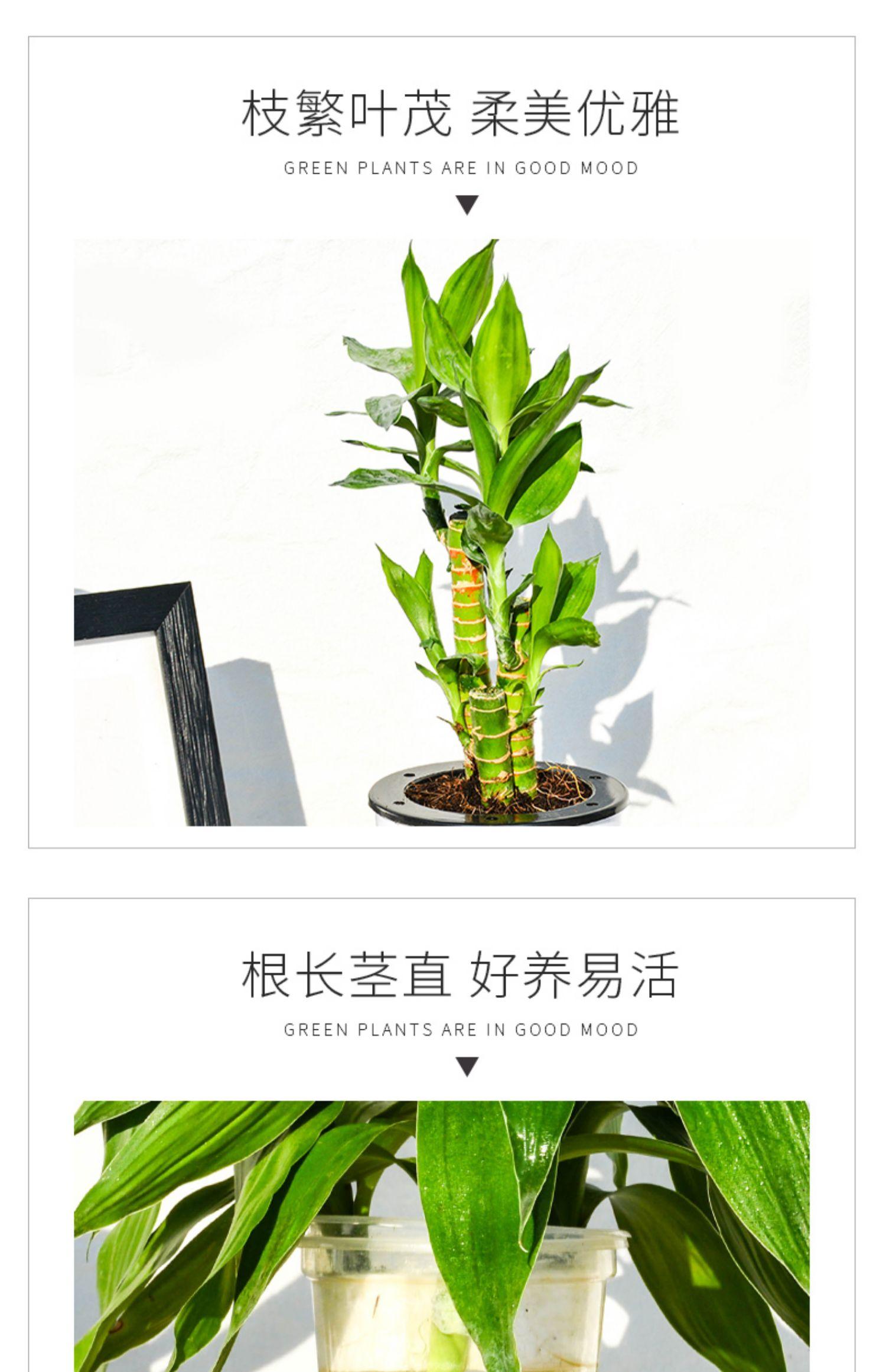 富贵竹植物转运竹水培盆栽 14