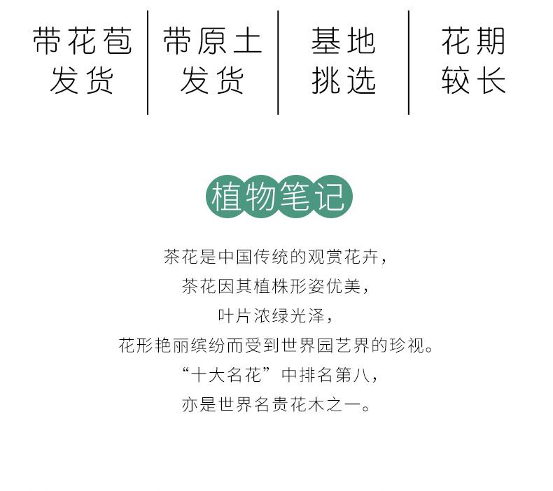 香妃茶花树苗盆栽浓香型四季庭院室内室外耐寒秋冬绿植花卉带花苞详细照片