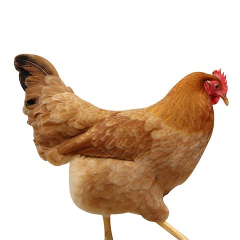 发2只农家散养土鸡农村现杀新鲜鸡肉整只2年老母鸡山林走地鸡笨鸡