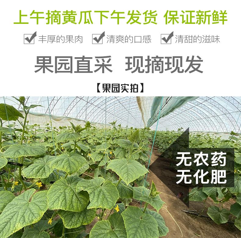 【现摘现发】东北农家旱黄瓜5斤