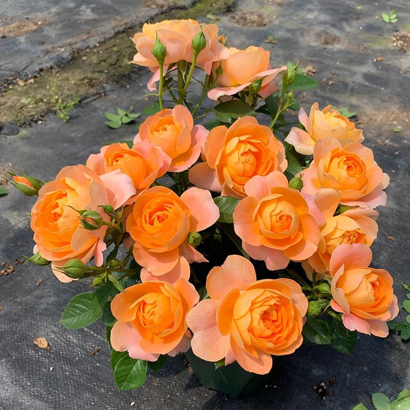 月季花苗特大花卉绿植物室内盆栽玫瑰果汁阳台蔷薇花爬藤四季开花