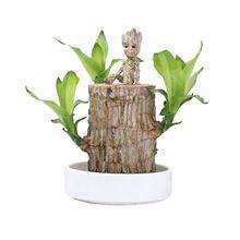 巴西木格鲁特幸运木桌面绿植