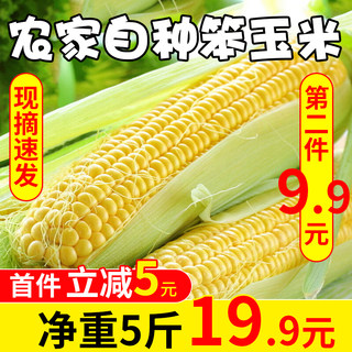 Shaanxi agricultural help old corn stupid corn on the cob is now picked and issued 5 pounds of new corn belt green skin non-GMO 10