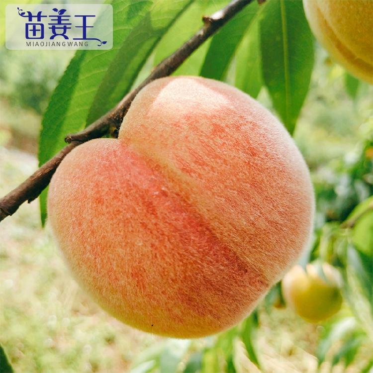 【现货】苗姜王贵州桃子脆甜净5斤