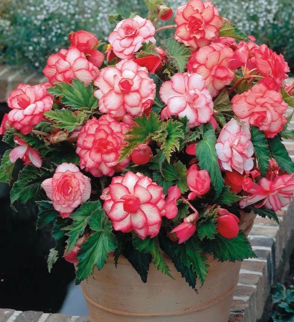 除了茉莉和栀子花,这些植物也喜欢酸性土