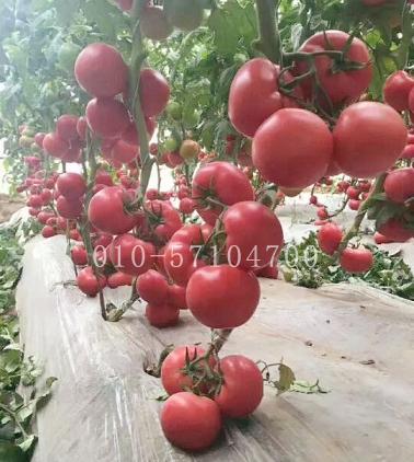 高抗病番茄种子