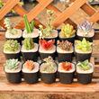 花匠多肉 多肉植物 精养套餐 多肉组合盆栽园艺 含盆含土办公绿植