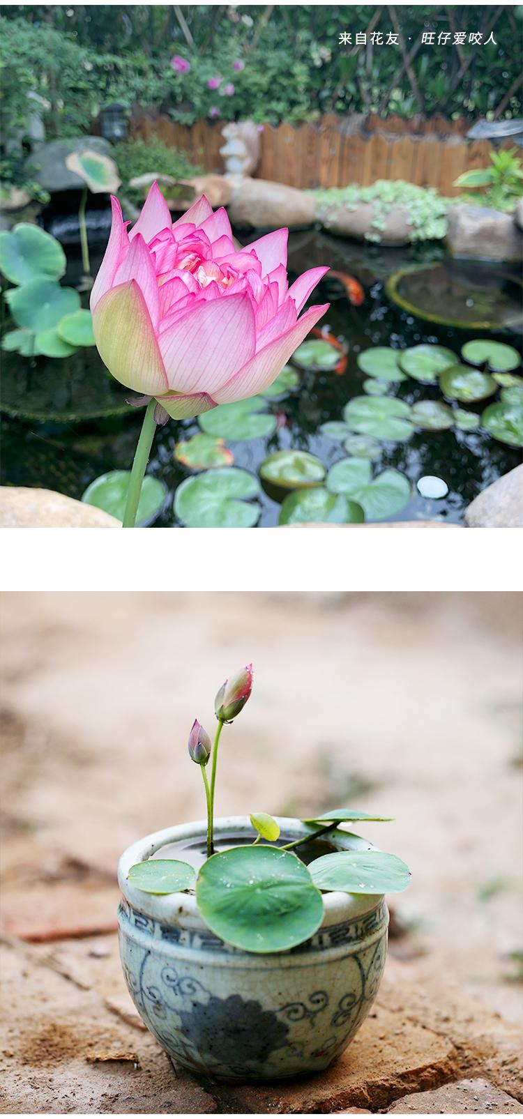 塔莎的花园碗莲水培植物四季室内花卉小盆栽莲花荷花水生根茎详细照片