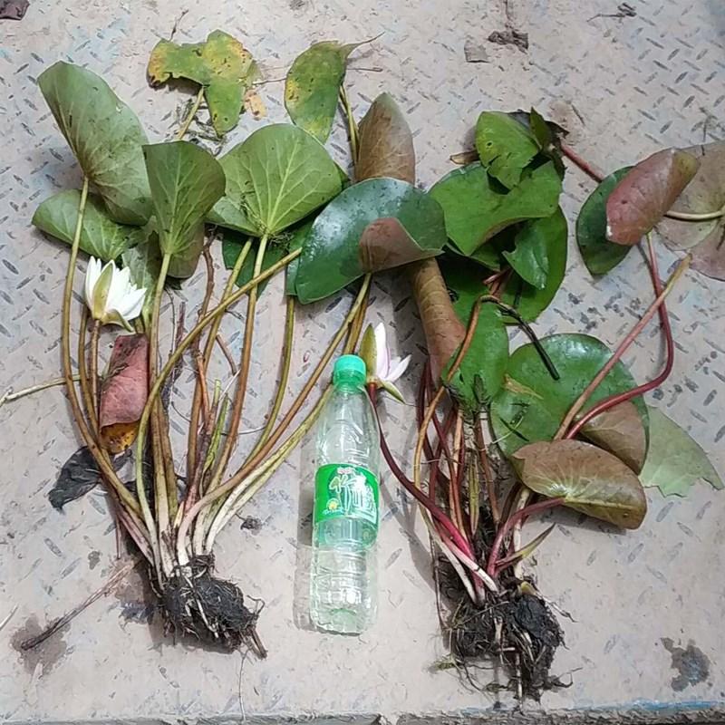 大盆栽苗水培生花卉四季迷你小碗莲植物水生室内睡莲开花好养活