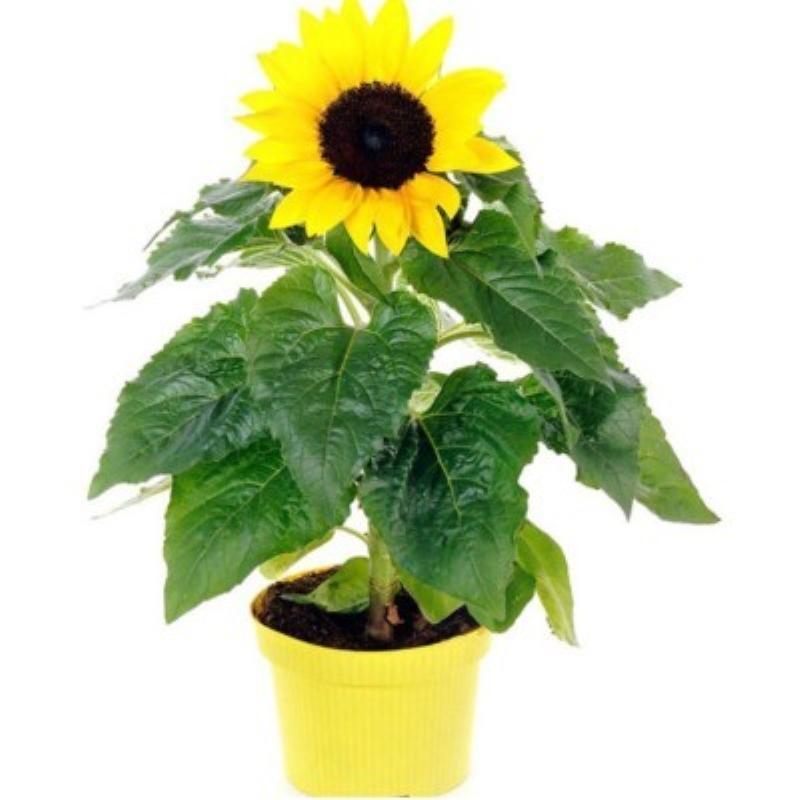观赏向日葵种子向阳花种子食用瓜子种子油葵种子葵花种子易种包邮