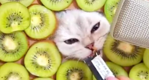 为什么有3万多人在听这只猫舔麦克风让粉丝们助眠