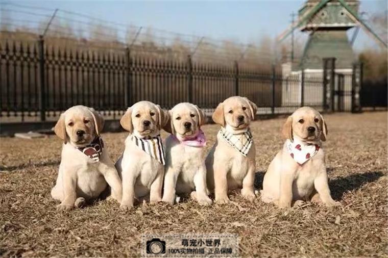 拉布拉多犬白色幼犬活体北京家养神犬小七宠物狗狗公母黑纯种短毛