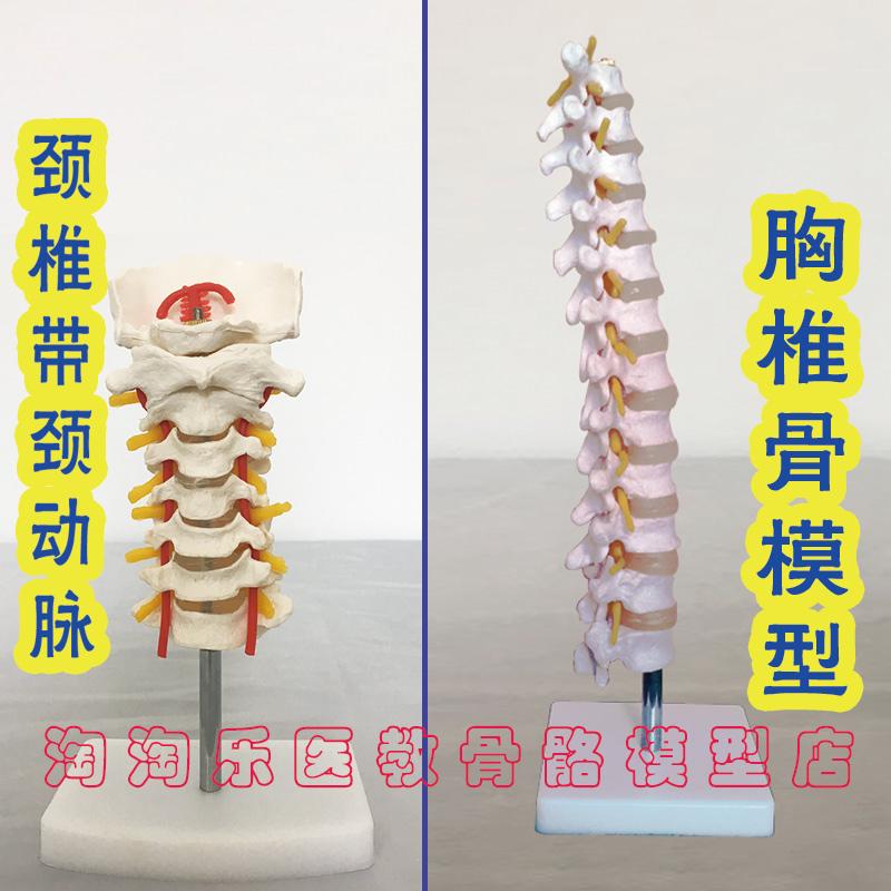 促销颈椎带颈动脉 胸椎骨模型标本医用教具新款厂家直销人体骨骼