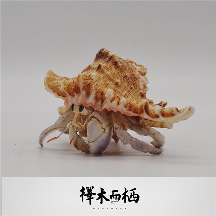 陆养灰白草莓寄居蟹西伯利斯深紫裏拉短腕宠物活体螃蟹观赏蟹详细照片