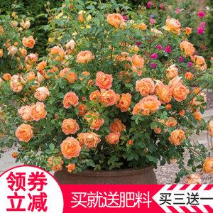 观花阳台盆栽绿植物切花玫瑰月季花多花藤本蔷薇月季爬藤月季花苗
