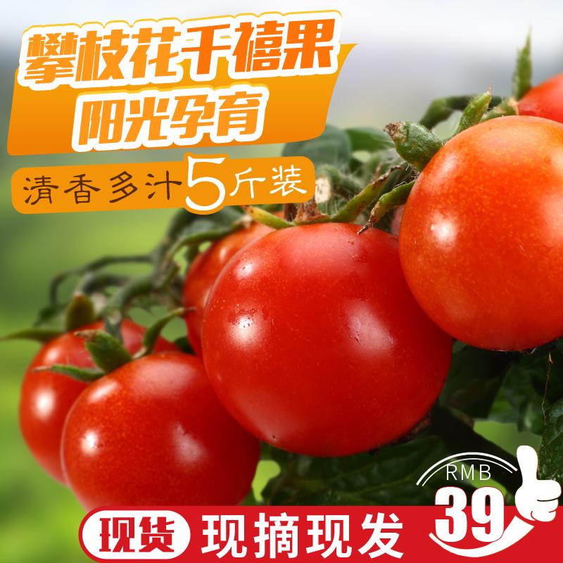 现货 攀枝花米易千禧果小番茄水果5斤装非圣女果零食新鲜水果包邮
